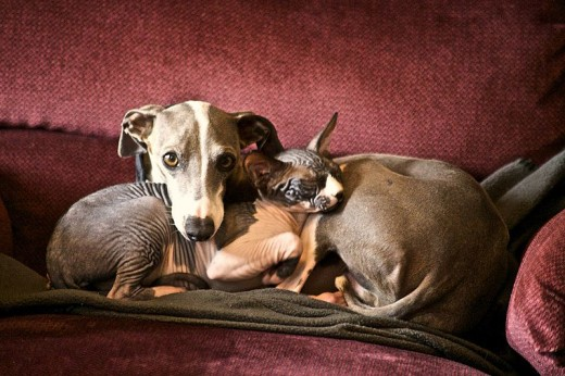 Dogs and cats can be good friends when introduced to each other early in their lives.  Pictured here:  an Italian Greyhound & Sphinx cat.