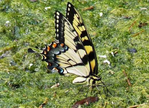 An American Butterfly