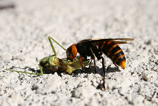 Wasp Feeds on a Mantis