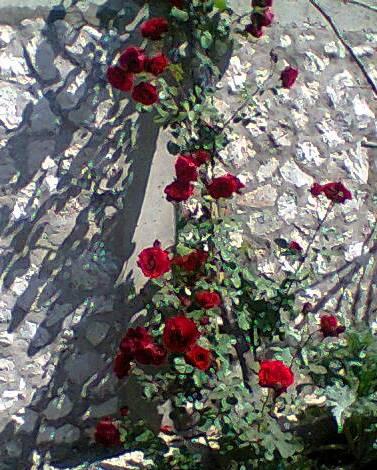 My beautiful rose tree