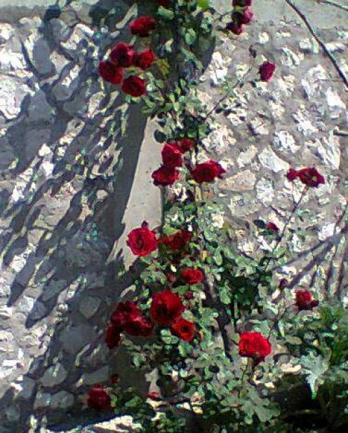 My beautiful rose tree