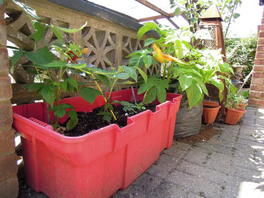 Unused every day items can be successfully re-purposed into containers for growing plants. Here raspberry canes are shown growing in an old toy box.