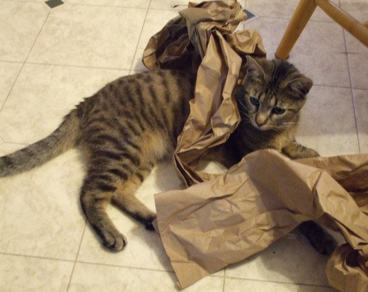 Skeeter the cat attacks packing paper.