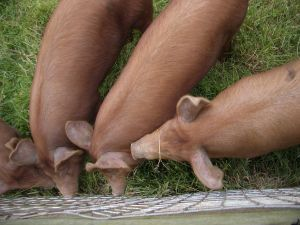 The pigs would soon be weaned