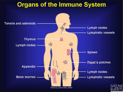 These are called the lymphoid organs--the home of the immune cells