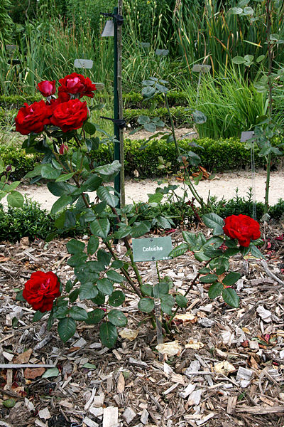 "The ""Coluche"" rosebush.   Photo by Sémhur"