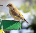 The GreenFinch { Birds of Europe.}