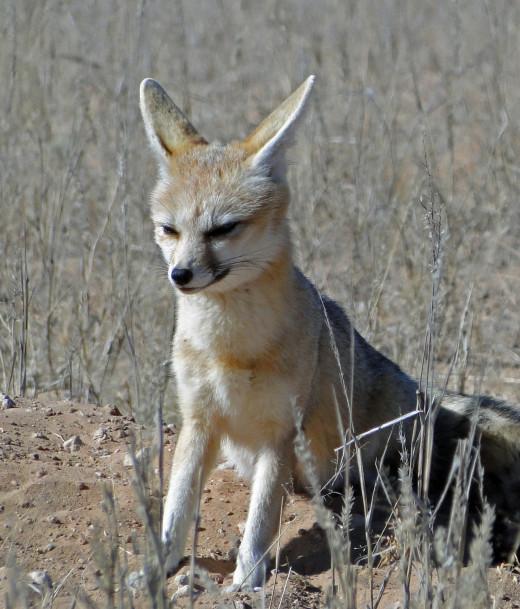 Bat-eared Fox - Kgalagadi