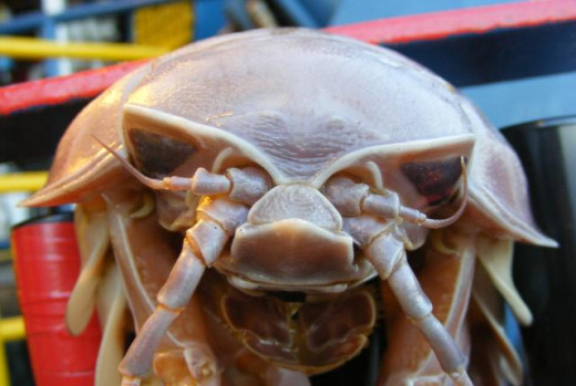 Giant Isopod Face