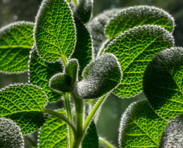 Sage in the sun.