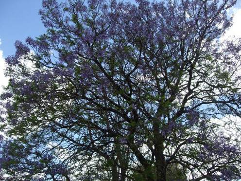 A Jacaranda tree  from South Africa.