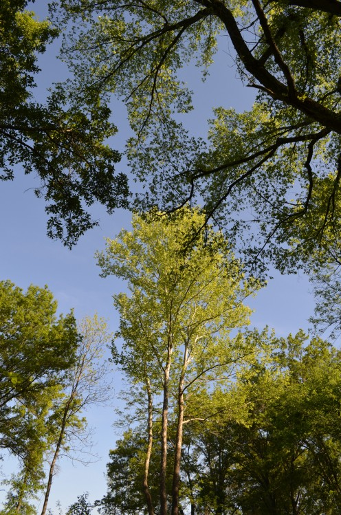 I loved all the trees at Shaw Nature Reserve.  These were so beautiful, when looking up into them, set against the blue sky.