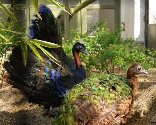 Congo Peafowls Pair