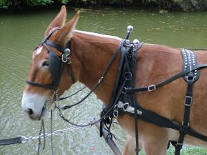 Mule in harness