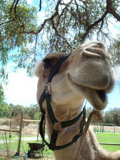 If you have ridden a camel, what were the circumstances surrounding this experience?