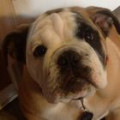 My Bulldog Bentley Possibly the Cutest Dog In The Entire World