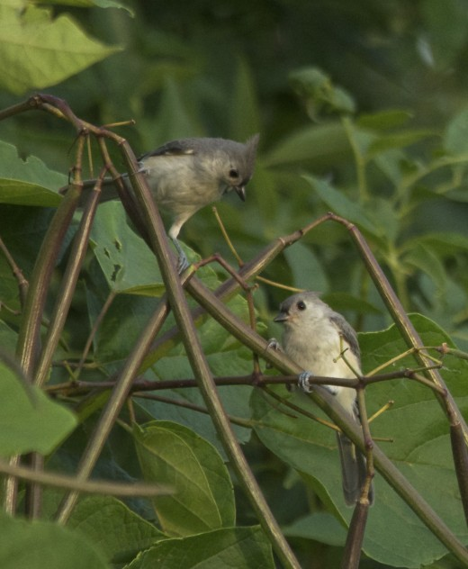 Tufted Titmouse Pair