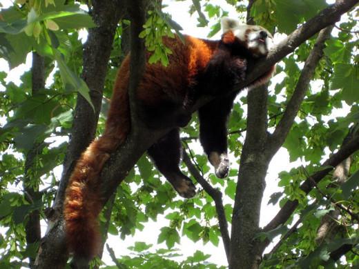 Red panda taking a nap