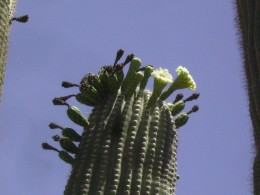 Flower and buds atop a saguaro cactus in Tucson, AZ