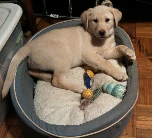 Labrador Retriever - Sugar Cookie