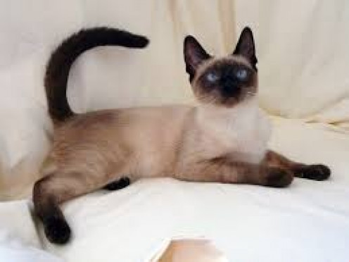 Siamese cats are beautiful and very protective of their home territory. Like all cats they sleep a bunch but their also playful with toys.