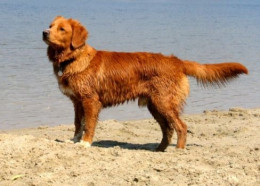 Tollers love the water and retrieving games and are great family pets.