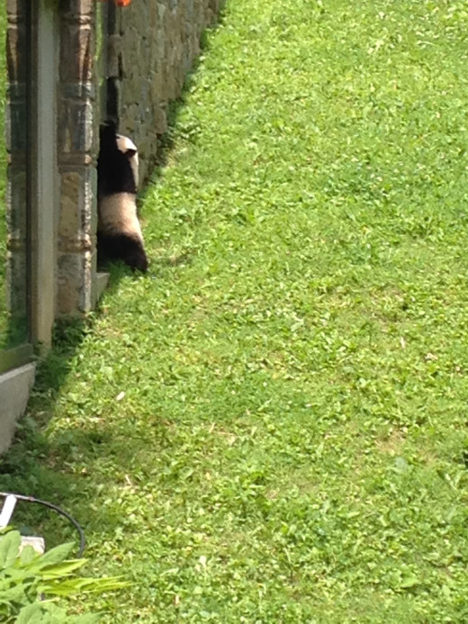 BABY PANDA WANTS OUT