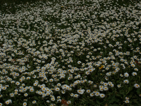Mini Daisies everywhere!