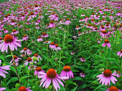 Echinacea: Does It Help Or Hurt?