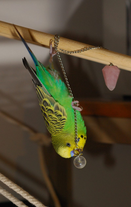 Even something as simple as a bead and chain can result in hours of fun for your budgie!