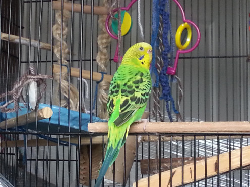 My spoiled rotten budgie, Kiwi, surrounded by her toys. ;)