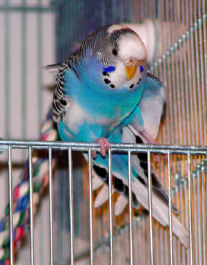 A budgie stretching in the door of its cage.