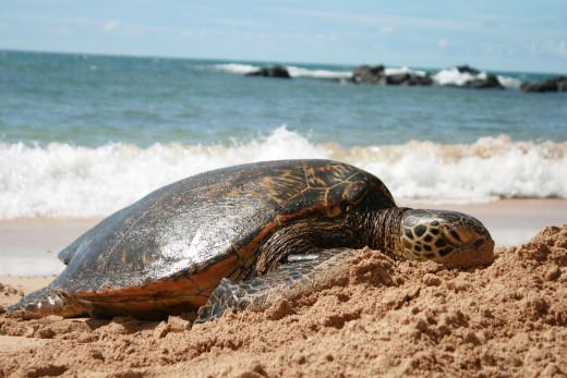 Oahu Sea Turtle---the intended purpose of our trip.