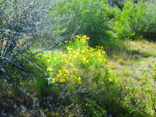 A patch of yellow flowers reflecting the sunlight, and beckoning to be painted.