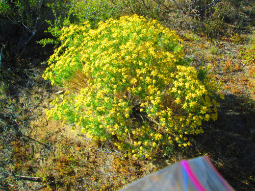 Another photo of the vibrant yellow senecio douglasii.