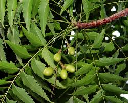 Neem tree, leaves and Nimboli(its seeds)
