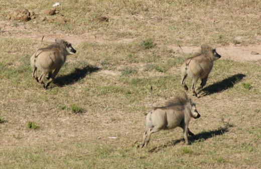 Warthog on the run