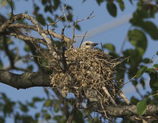 Female Scissor-tailed Flycatcher on Her Nest