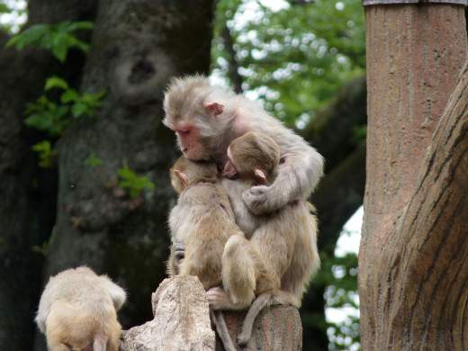 Infant rhesus macaque monkeys were separated from their mothers for use in the isolation chambers.