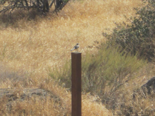 Another photo of the bird on the post.