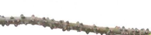"Sometimes, makabuhay stems look like a thinner version of a ""kamoteng kahoy"" stem."