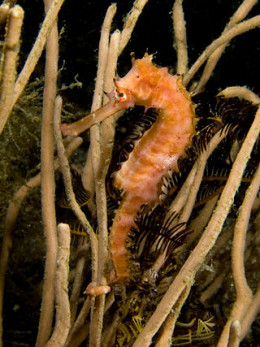 The spiny seahorse