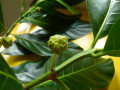 Nitric Oxide of Noni, a Medicinal Plant, Controls Cancer like Chemotherapy but without Side Effects