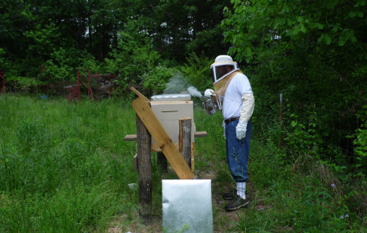 Beekeeper lightly smokes bees.