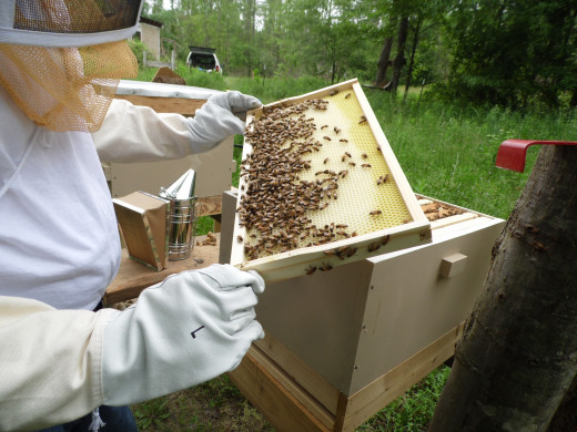Beekeeper inspects frames of honey bees.