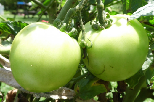 Small green tomatoes still hanging on the vine.