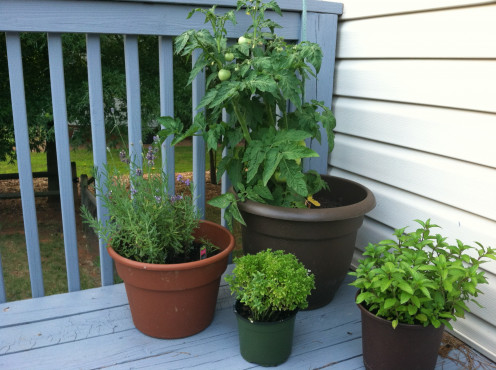 June 20: Patio tomato in back, lavender (left), boxwood basil, and peppermint (right).