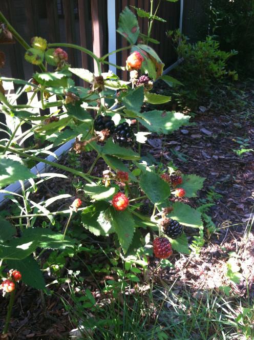 June 26: ripe blackberries (bad lighting, sorry)