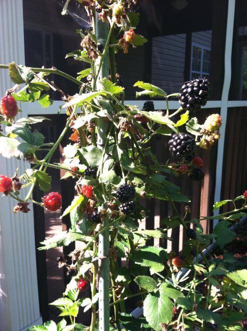 June 26: Ripe blackberries.