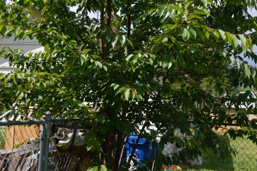 Cherry tree in backyard